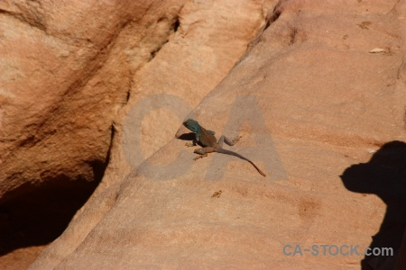 Jordan lizard reptile middle east rock.