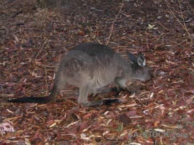 Kangaroo animal.