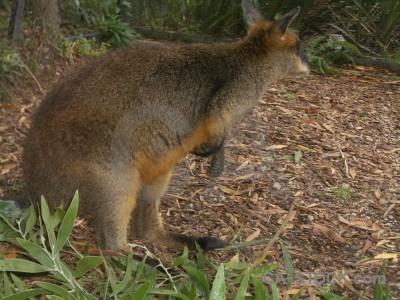 Kangaroo brown animal green.