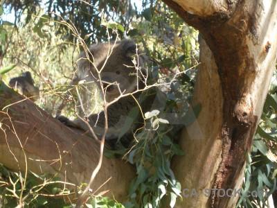 Koala animal brown green.