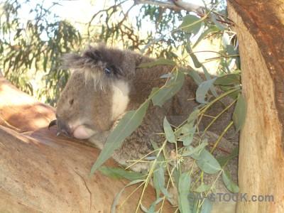 Koala animal green.