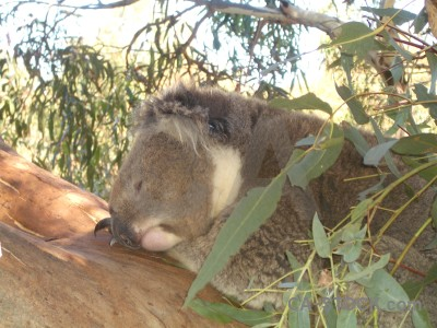 Koala animal green white.