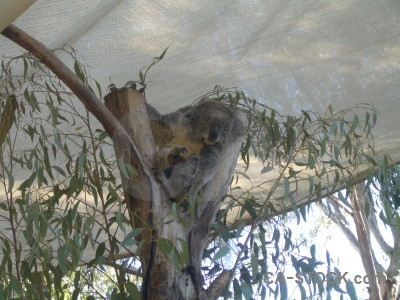 Koala gray animal.