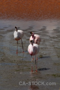 Laguna colorada altitude flamingo bird animal.