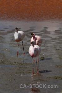 Laguna colorada altitude flamingo bird animal.