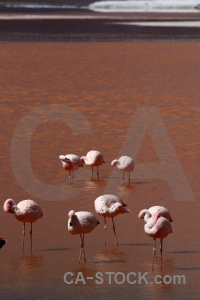 Laguna colorada altitude flamingo south america water.