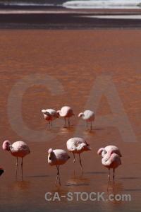 Laguna colorada altitude flamingo south america water.