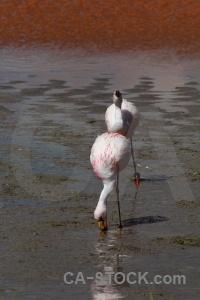 Laguna colorada altitude lake flamingo bird.