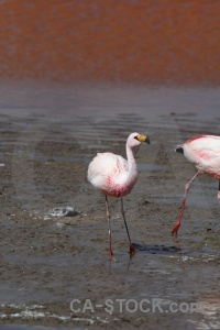 Laguna colorada bolivia andes flamingo water.