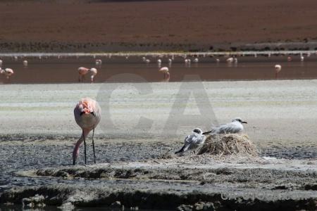 Laguna hedionda flamingo salt bolivia nest.