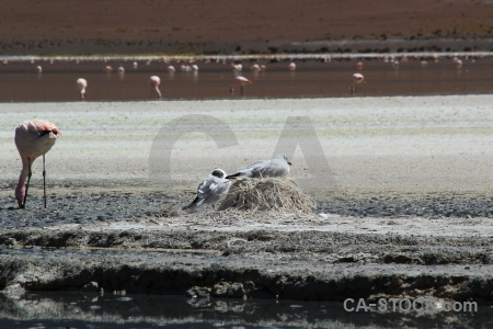 Lake andean gull nest salt lake flamingo.