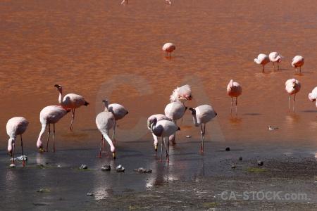Lake andes flamingo laguna colorada south america.