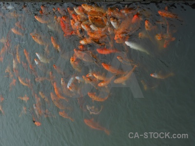 Lake carp southeast asia fish koi.