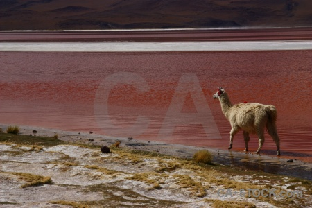 Lake laguna colorada animal llama landscape.