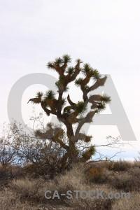 Landscape tree joshua white desert.