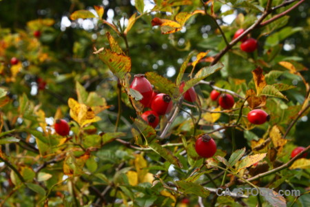 Leaf berry fruit branch food.