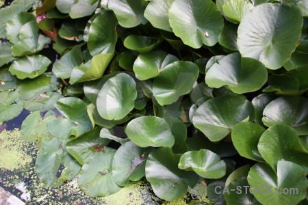 Leaf plant lily green.