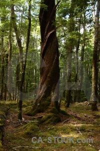 Leaf tree moss trek south island.