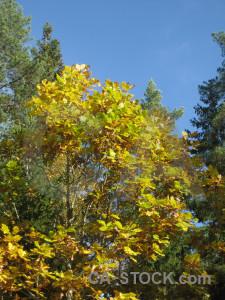 Leaf yellow branch blue tree.