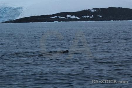 Leopard seal palmer archipelago animal antarctic peninsula wiencke island.