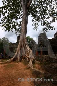 Lichen banyan tree southeast asia ruin buddhist.