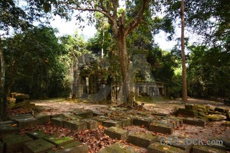 Lichen ta prohm plant cambodia tomb raider.
