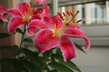 Lily flower plant europe sweden.