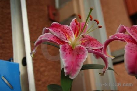 Lily karlskrona sweden plant flower.