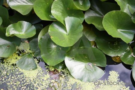 Lily plant leaf green.