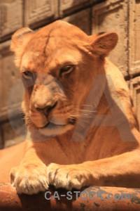 Lion brown orange animal cat.