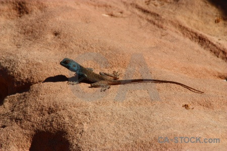 Lizard reptile middle east jordan animal.