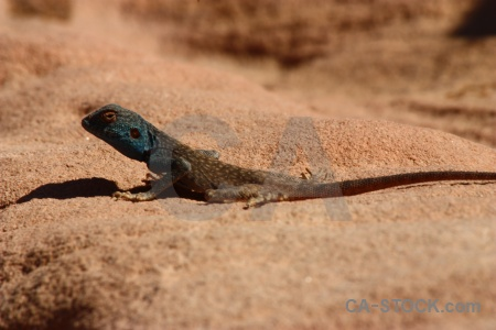 Lizard reptile petra unesco tail.