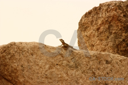 Lizard stone asia amman animal.