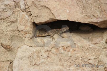 Lizard western asia middle east reptile animal.