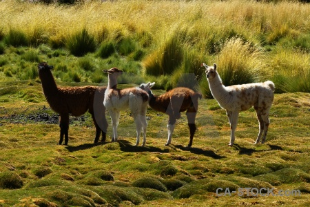 Llama grass chile animal andes.