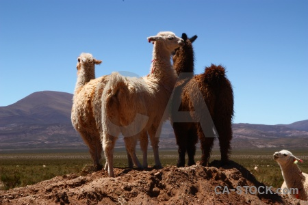 Llama mound altitude animal andes.