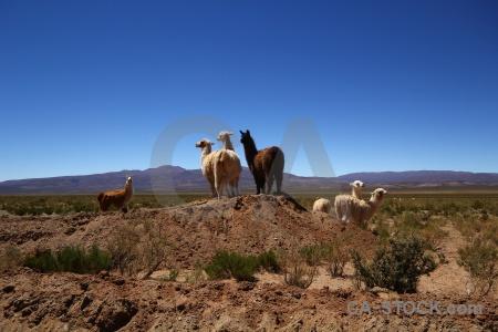 Llama sky andes mountain altitude.