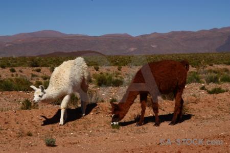 Llama sky salta tour animal landscape.