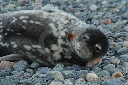 Marguerite bay bellingshausen sea stone seal animal.
