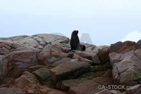 Marguerite bay seal horseshoe island rock antarctica.