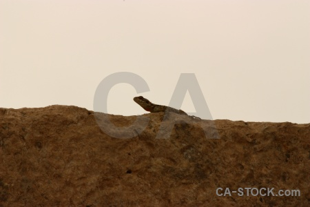 Middle east jordan animal lizard asia.