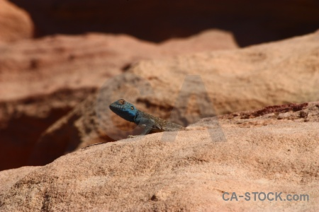Middle east reptile unesco tail animal.