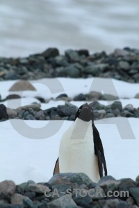 Millerand island animal snow antarctic peninsula stone.
