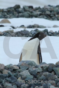 Millerand island animal south pole antarctic peninsula ice.