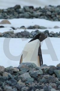 Millerand island animal south pole antarctic peninsula ice.