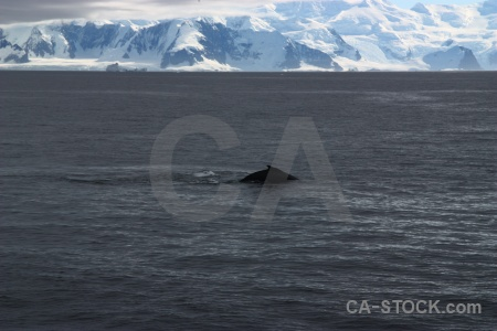 Mountain adelaide island whale marguerite bay antarctic peninsula.