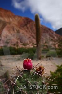 Mountain plant purmamarca flower cerro de los siete colores.