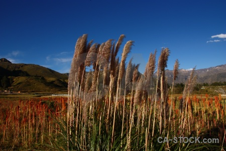 Mountain quinoa pampas grass cloud plant.
