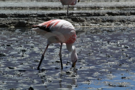 Mud altitude water laguna hedionda flamingo.