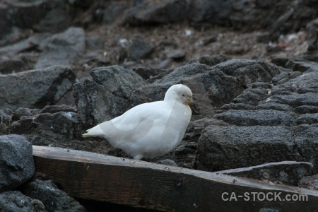 Neumayer channel snowy sheathbill antarctica palmer archipelago animal.